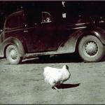 なぜ?頭部が無いのに1年半もあの鶏は生きていたのか?