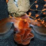 深海の稀少なタコ、ダンボタコの孵化の撮影成功